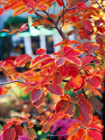 fall serviceberry.jpg